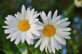 daisy-165291__180
