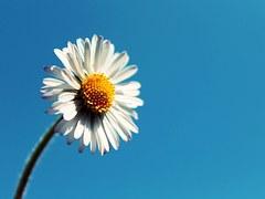 daisy-724016__180